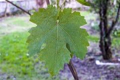 Неполовозрелые крошечные виноградины, лист виноградины, лист виноградины и изображения плодоовощ виноградины Стоковое Изображение