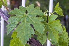 Неполовозрелые крошечные виноградины, лист виноградины, лист виноградины и изображения плодоовощ виноградины Стоковая Фотография