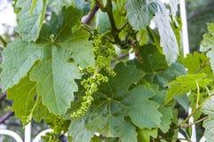 Неполовозрелые крошечные виноградины, лист виноградины, лист виноградины и изображения плодоовощ виноградины Стоковые Фотографии RF