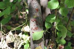 Неполовозрелые клоп-солдатики на дереве Стоковая Фотография