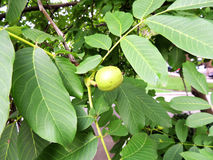 Неполовозрелые плодоовощи грецкого ореха (regia Juglans) Стоковое Фото