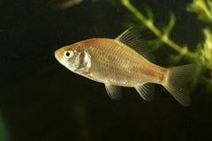Неполовозрелые рыбы crucian карпа в пруде Стоковые Фото