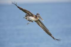 Неполовозрелый банк пеликана Брайна в полете - Флориде Стоковая Фотография RF