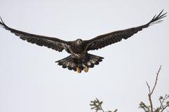 Неполовозрелый белоголовый орлан Стоковое Фото