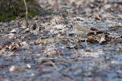 Неприкрашенная птица леса на предпосылке листвы ` s last year Стоковая Фотография RF