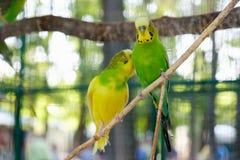 Неразлучник parrots сидеть совместно на ветви дерева Стоковое Изображение