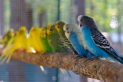 Неразлучник parrots сидеть совместно на ветви дерева Стоковая Фотография RF