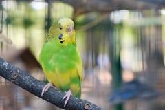 Неразлучник parrots сидеть совместно на ветви дерева Стоковые Изображения RF