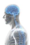 нервная система мужчины иллюстрации 3D иллюстрация вектора