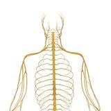 Нервная система бесплатная иллюстрация
