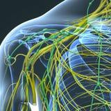 Нервы и лимфоузлы на лопаточной кости иллюстрация штока