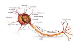 нерв иллюстрация штока