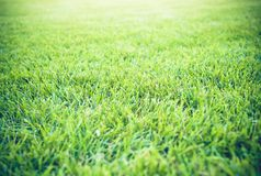 Нерезкости текстуры зеленой травы с золотым светом на заходе солнца для предпосылки Стоковые Фотографии RF
