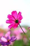 Нерезкость розового цветка космоса Стоковые Фото