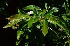 Неровные тощие листья Castanea сладостного каштана Sativa на яркой солнечности полдня в июне Стоковая Фотография RF