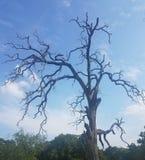 Неряшливое мертвое дерево против голубого неба стоковые фотографии rf