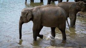 Несколько большие слоны стоя в пруде в парке акции видеоматериалы