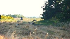 Несколько больших голубых цапель летая прочь видеоматериал