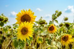 Несколько больших желтых растущих цветков солнцецвета на поле на солнечный летний день Стоковое Изображение RF