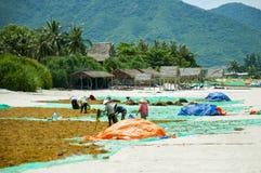 Несколько въетнамских женщин в шляпах Aozai кладут вне морскую водоросль на пляж для сушить Стоковое Фото