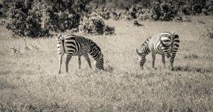 Несколько зебры пася Стоковые Фото