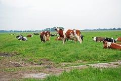 несколько коричневых и черных белых коров стоят в выгоне Стоковое Изображение