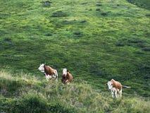 Несколько коров пася на выгоне горы Высокогорное традиционное сельское хозяйство Стоковые Изображения RF