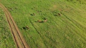 Несколько молодых красивых лошадей пасут в вечере на луге на плане взгляда конспекта поля травы поднимающем вверх видеоматериал