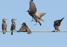 Несколько общих starlings на взгляде электрического провода необыкновенном Стоковое фото RF