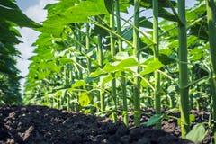 несколько плоских, толстых стержней молодого солнцецвета, вмеру удобренных и защищенных от заболеваний, насекомых и засорителей Стоковая Фотография RF