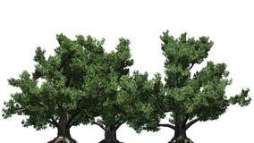 Несколько различных европейских деревьев бука иллюстрация вектора