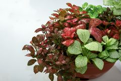 Несколько разнообразия и цветов домашнего fittonia цветов Стоковая Фотография