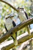 Несколько смеясь над Kookaburra стоя на хворостине В Austral Стоковые Изображения RF
