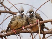 Несколько 2 супер милых сладостных прелестных симпатичных очаровывая экзотических птицы сидя совместно на ветви стоковые фото