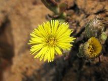 Несколько цветков весеннего дня мат-и-пальцев ноги солнечного Очень первые цветки весны стоковая фотография rf