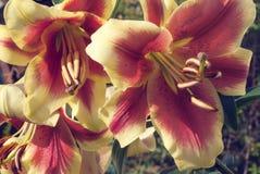 Несколько цветков красно-желтых лилий Стоковые Изображения