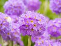 Несколько шаровидных цветков Primula на предпосылке зеленой травы Стоковые Фотографии RF