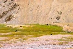 Несколько яков пасут в горах рекой стоковые изображения rf