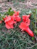 Несколько ярких красных цветков гранатового дерева разбросанных на лужайку стоковое фото