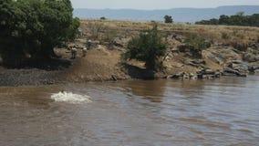 Нескольк зебра безопасно пересечь реку Mara в Кении акции видеоматериалы