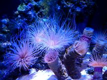 Нескольк одиночный полип коралла Стоковая Фотография RF