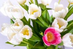 Несколько белых тюльпанов и один крупный план красного цвета цветка Стоковые Изображения RF