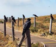 Несколько вороны защищая дорогу стоковые изображения rf