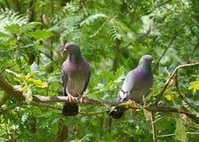 Несколько голуби на ветви Стоковые Изображения