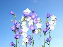 Несколько голубых и белых цветков колокола Стоковая Фотография