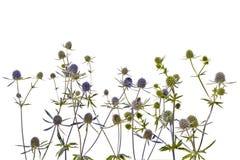 Несколько голубых thistles на белой предпосылке Стоковые Фото