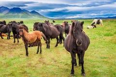 Несколько исландских лошадей в горах Стоковое фото RF