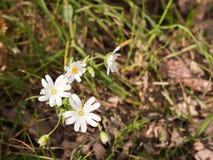 Несколько красивых белых голов цветка ветреницы на поле на th Стоковые Изображения RF