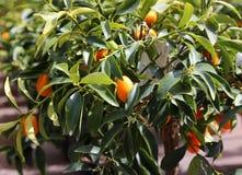 несколько кумкваты сада фруктового дерев дерева смертной казни через повешение в лете Стоковые Изображения