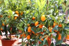 несколько кумкваты смертной казни через повешение на фруктовом дерев дереве Стоковая Фотография RF
